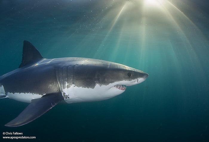 shark-underwater