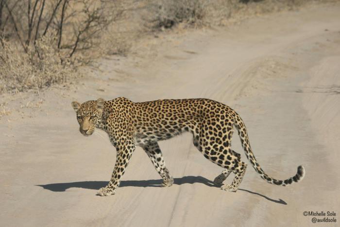slim-leopard-kalahari