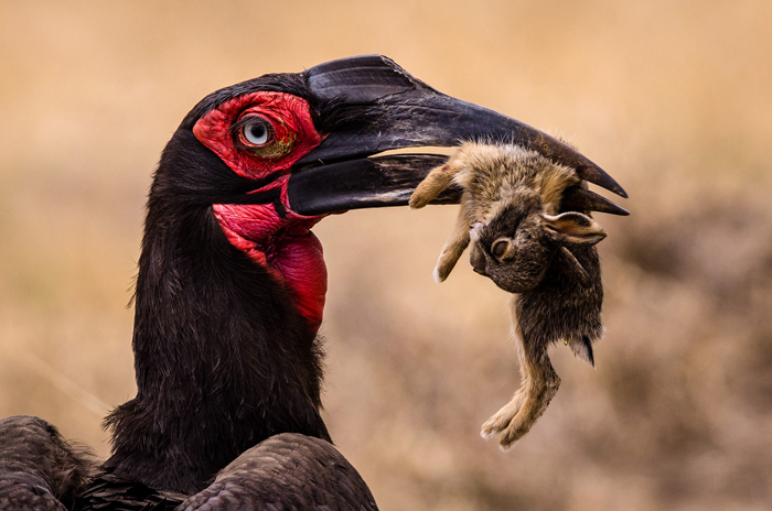 the-hornbill-and-the-hare-in-the-serengeti-william-wallden--africa-geographic-photographer-year-2016
