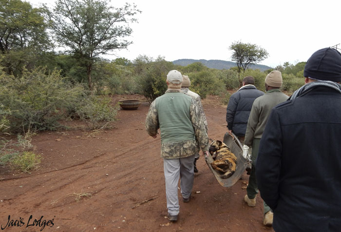 transporting-darted-wild-dog