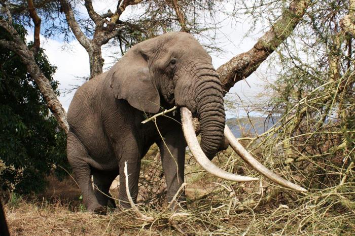 tusker-Krissie-Clark-elephant-ivory-trade