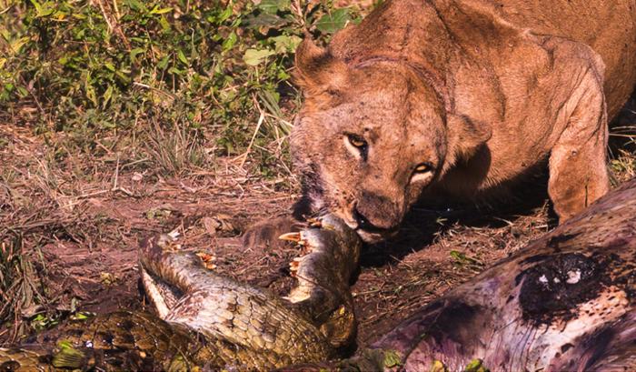 Lion and crocodile battle over a hippo carcass - Africa ...