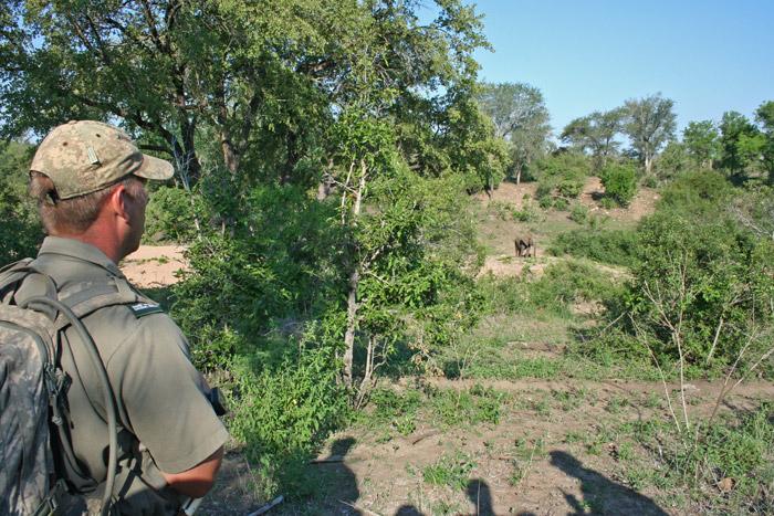 walking-safari-kruger-elephant