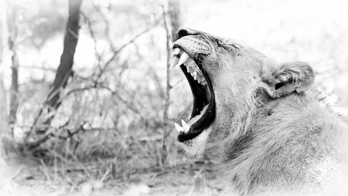 yawning-lioness