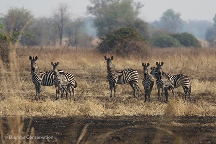 zebra-luambe-national-park