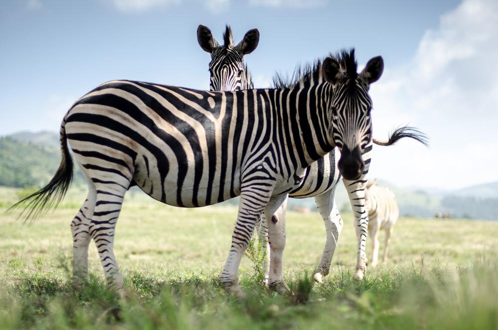 zebras-swaziland