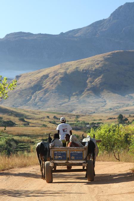 zebu-cart-in-madagascar