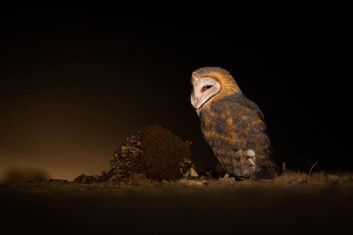 barn-owl-after-dark-in-south-luangwa