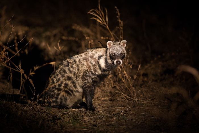 African-civet-night-game-drive