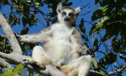2-Leumar-in-Madagascar