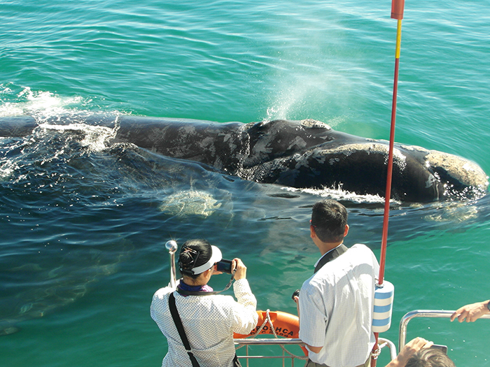 5. Southern Right Whale at our boat - Photo courtesy of Southern Right Charters