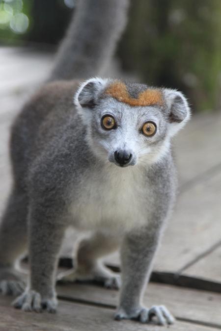 crowned-lemur-in-Madagascar