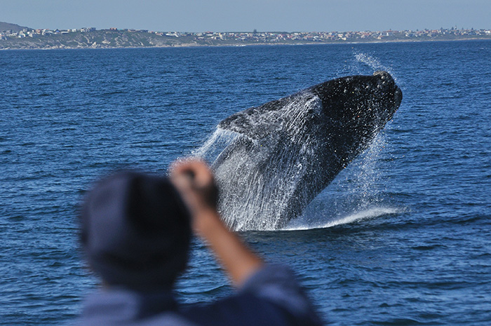 6. Southern Right Whale Breaching - Photo courtesy of Southern Right Charters