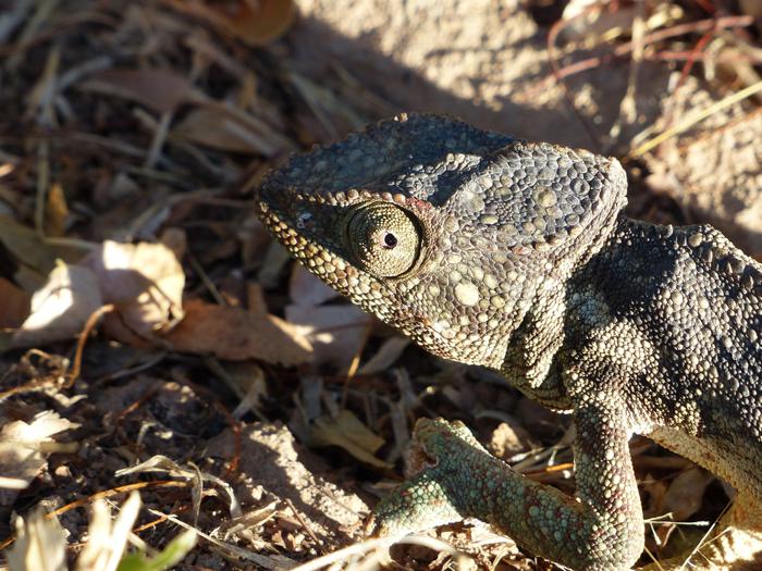 Oustalet's-chameleon-in-Madagascar