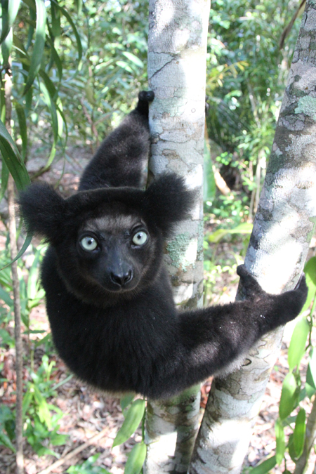 Indri-Lemur-in-Madagascar