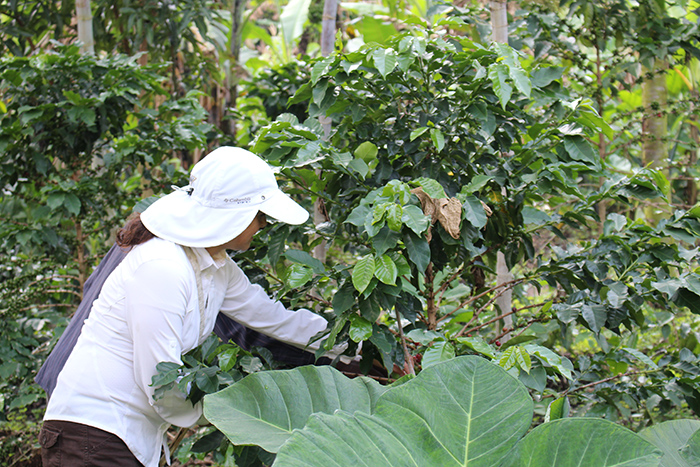A tourist picking coffee at a home stay