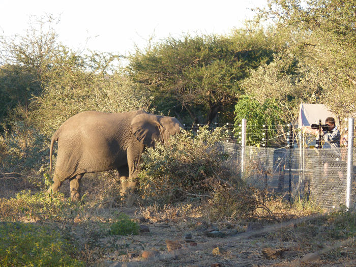 Balule-Camp-Fence-Credit-Gordon-hyena