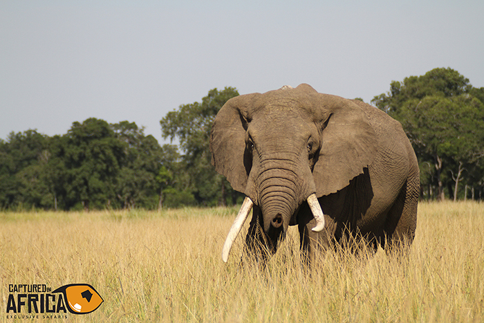 Big Tusker collared
