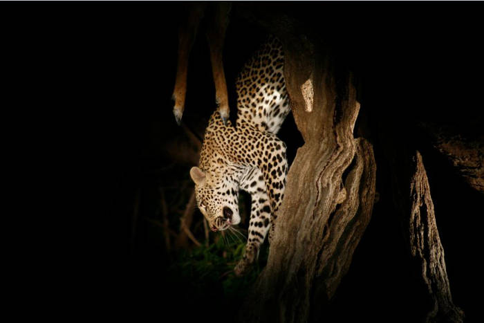 leopard-on-night-game-drive