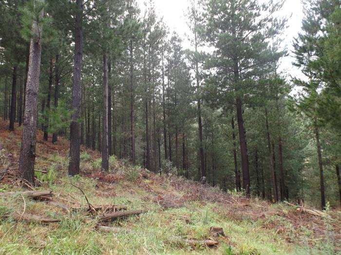 Delheim-pine-forest