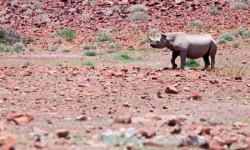Desert-adapted black rhino