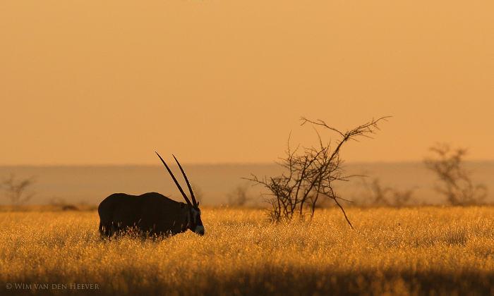 Gemsbok-grass-etosha