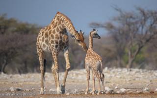 Giraffes - Wim