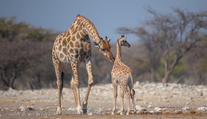 Giraffes-etosha