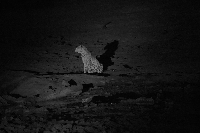 Guests on a night excursion witness this leopard