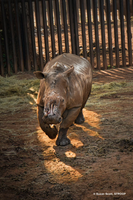 Hope-Limpopo-Boma-rhino