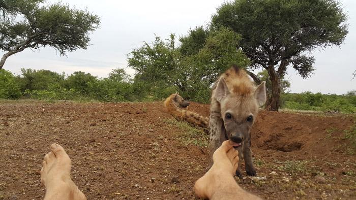 Hyena-toe-nibbles-Kim-Wolhuter