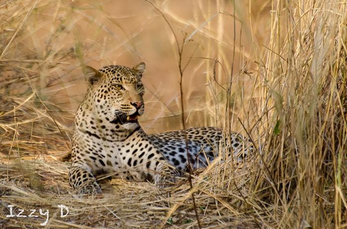 Izzy-leopard-in-grass
