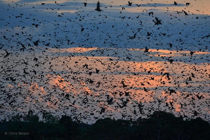 Kasanka-bats
