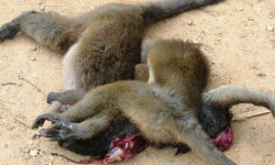 Lemur_poaching_001