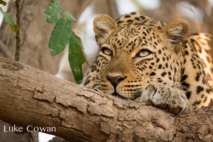 Luke-cowan-leopard-in-tree