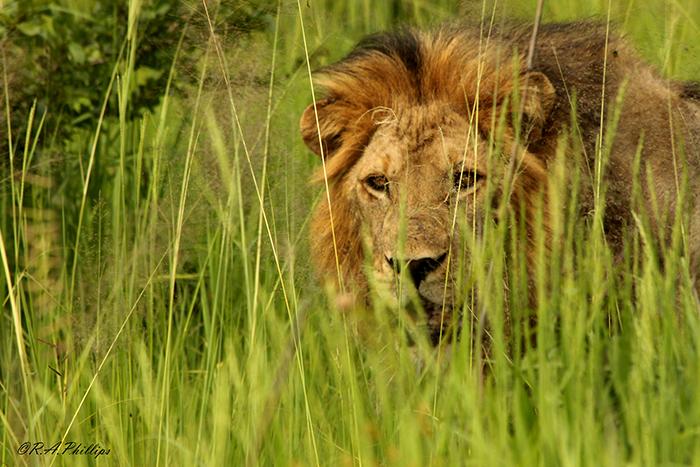 Mdonya-lion