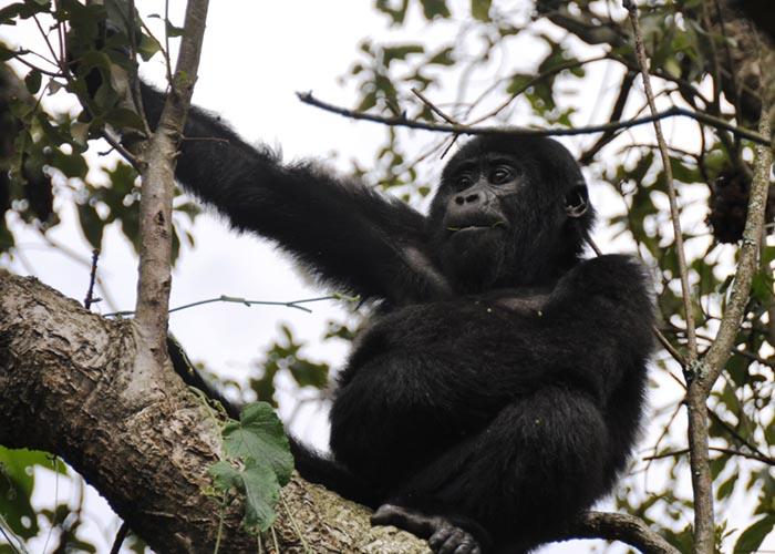Nkuringo-Gorilla