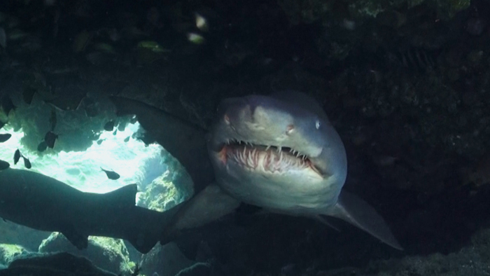 ragged-tooth-shark-diver