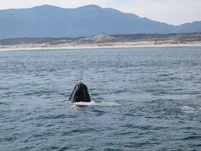 Southern Right whale spyhopping in Walker Bay- ©Carrie Hampton