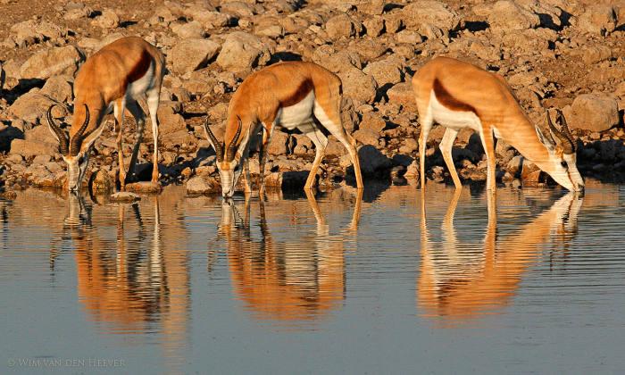 Springbok-drinking-Etosha