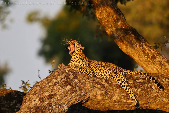Stephan Tuengler Leopard-yawning-in-tree