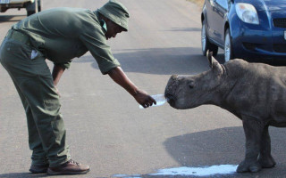 This ranger stepped in to help an orphaned baby rhino found wandering in the Kruger park in September 2014 and photographed by Heidi Venter