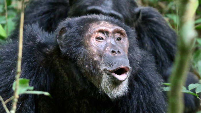 chimpanzee-uganda