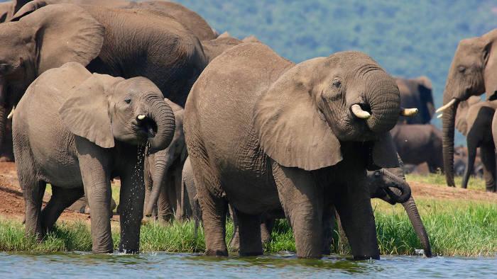 elephant-uganda