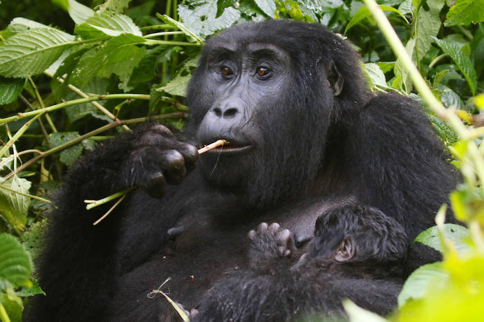 Uganda2016-Gorilla-Mom-Infant