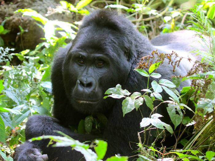 Uganda2016-Gorilla-Silverback