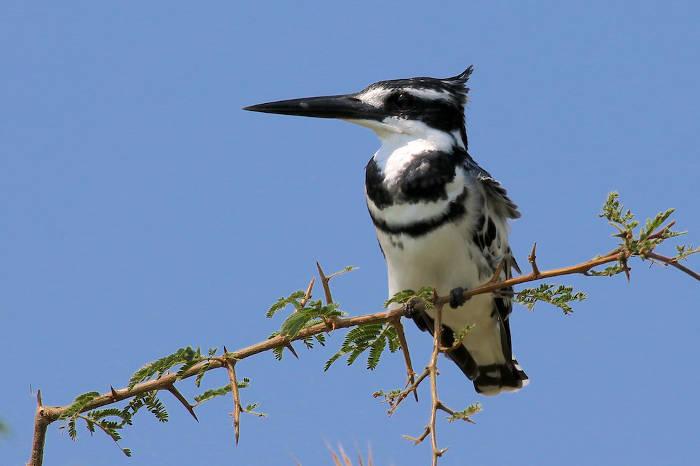 pied-kingfisher-uganda