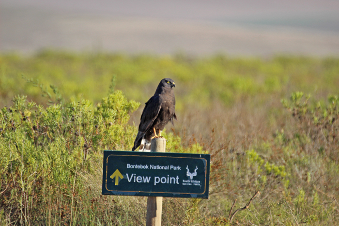 black-harrier-bontebok-national-park