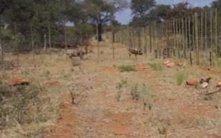 blood-lions-wild-dog