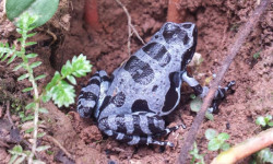 bururi-long-fingered-frog